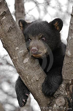 Black Bear Cub Hangs in Tree
