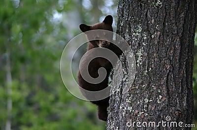 Black bear cub tree
