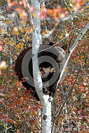 Free Black Bear In A Tree Stock Photo - 38587850