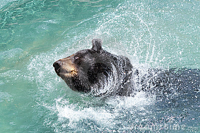 Black Bear Splashing