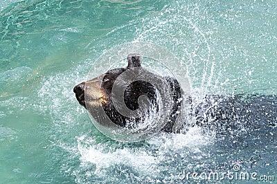 Black Bear Splashing