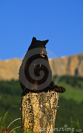 Black Bear on Stump