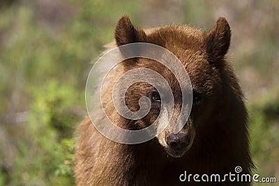 Black Bear, Ursus americanus