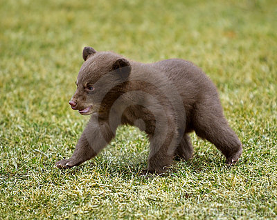 Black Bear (Ursus americanus) Cub on the Move