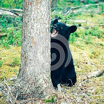 Free Black Bear Ursus Americanus Yukon Boreal Forest Royalty Free Stock Photo - 56468805