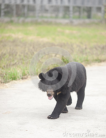 Free Black Bear Walking Around The Zoon Road Royalty Free Stock Images - 27082009