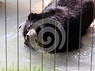 Black Bear in a Zoo