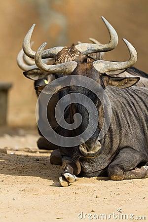 Black-bearded blue wildebeest