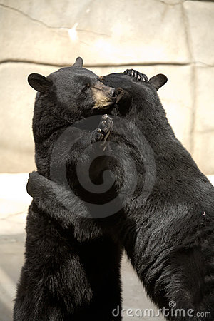 Black bears hugging