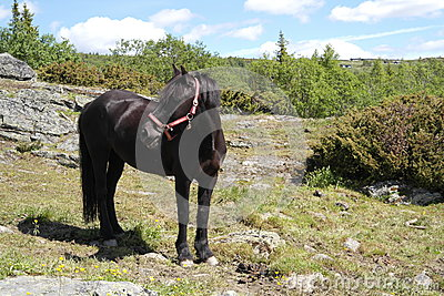 Black beautiful pony on a field