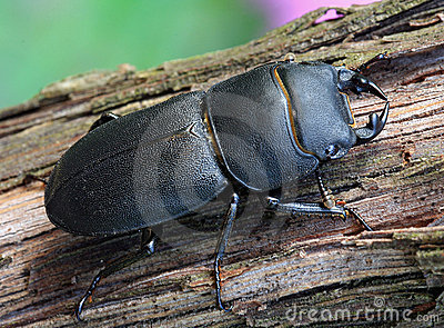 Black beetle (Dorcus parallelipipedus)