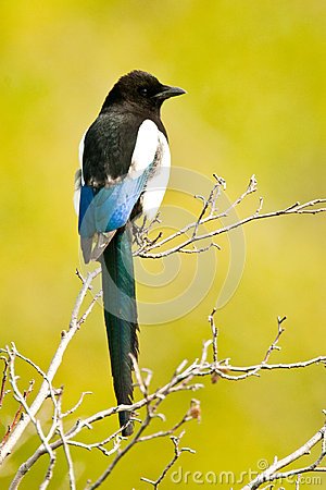 Black-Billed Magpie Royalty Free Stock Image - Image: 25295736