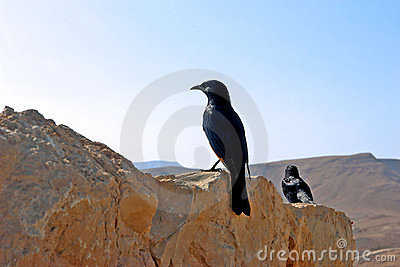 Black bird on a background of  deserted mountains