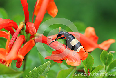 Black Blister Beetle on a Red Flower