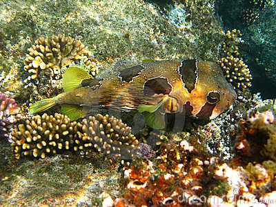 Black-blotched porcupinefish and coral