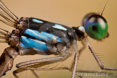 A black and blue damselfly