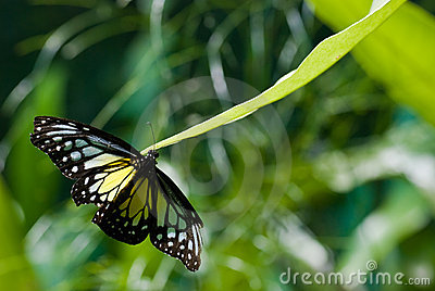 Black, blue and yellow butterfly