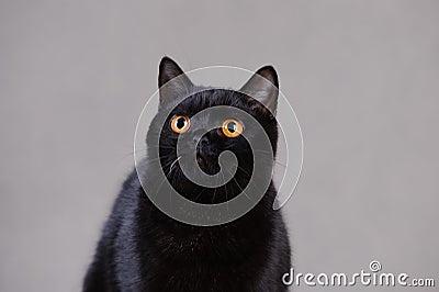 Black  British cat