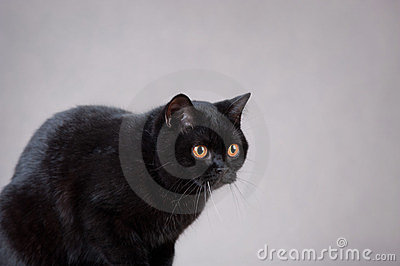 Black  British cat