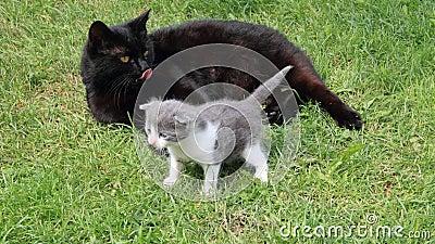 Black British purebred mother cat and newborn baby