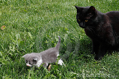 Black British purebred mother cat and newborn baby
