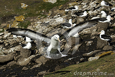 Black Browed Albatross Royalty Free Stock Image - Image: 24338386