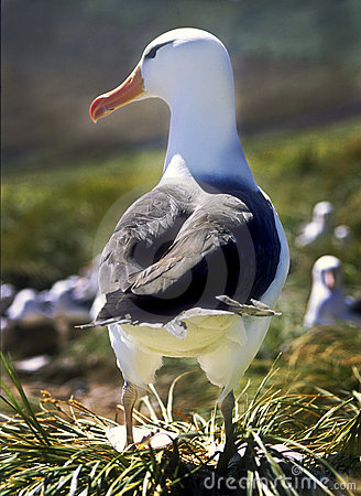 Black Browed Albatross, Falkland Islands