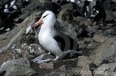 Black Browed Albatross, Falkland Islands