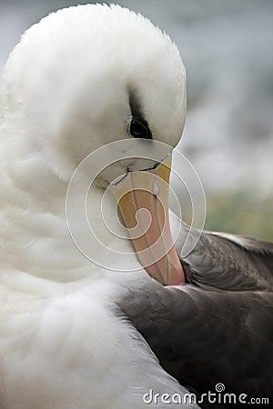Black-browed Albatross  - Falklands Islands
