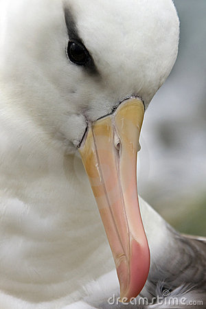 Black-browed Albatross - Falklands Islands Royalty Free Stock Photography - Image: 18749487