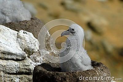 Black-browed Albatrosses