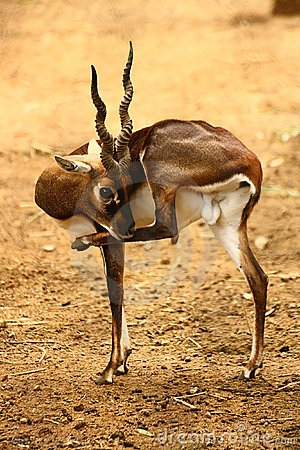 Black Buck cleaning itself