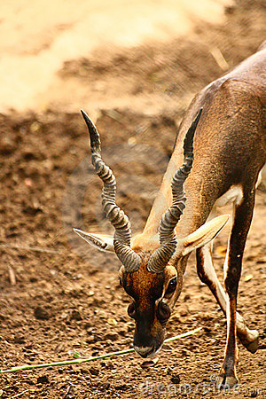 Black Buck walking with long curved horn