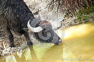 Black buffalo drinking water