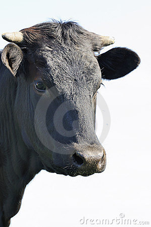 Free Black Bull Royalty Free Stock Photo - 23372405