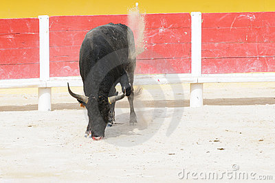 Black bull pawing up dust in a bullring