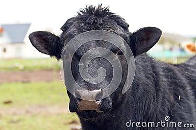 Black bull portrait