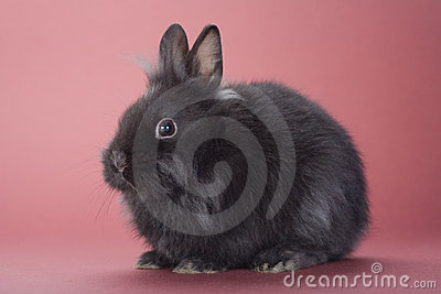 Black bunny isolated