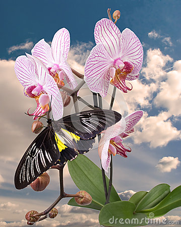 Black butterfly on the pink orchid