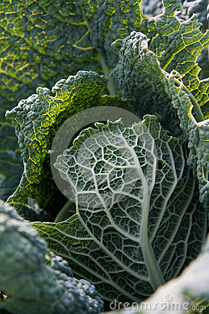 Black cabbage leafs