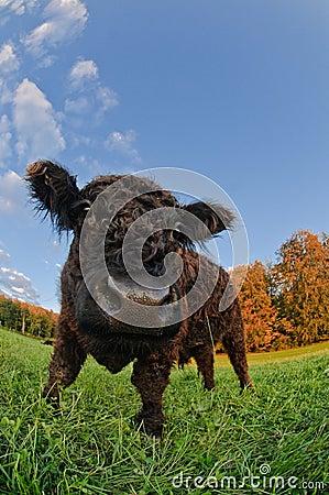 A black calf