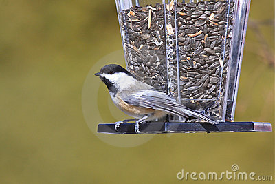 Black-capped Chickadee at a Bird Feeder