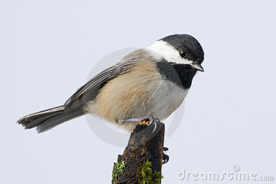 Black Capped Chickadee Small Bird