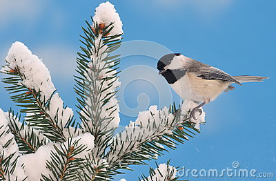 Black- capped Chickadee On Snowy Spruce