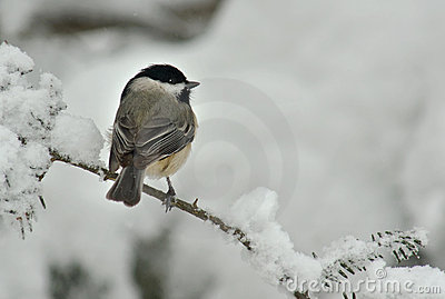 Black Capped Chickadee in Winter Snow