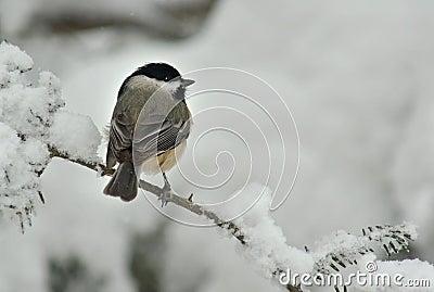 Black Capped Chickadee in Winter Snow