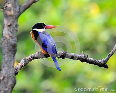 Black capped Kingfisher on the tree