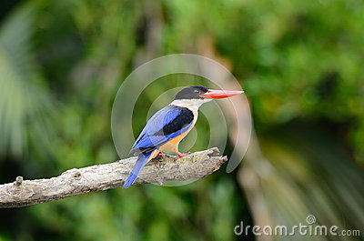 Black-capped Kingfisher(Halcyon pileata)