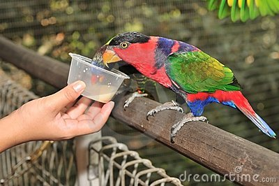 Black-capped Lory Stock Photos - Image: 20871153
