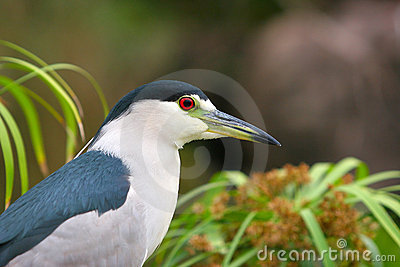 Black Capped Night Heron